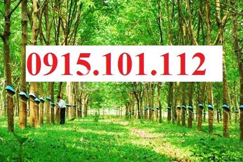 Cần bán đất đất trồng cây lâu năm, cao su đang thu hoạch, tỉnh lộ 6 gần đền Giải Phóng, sổ hồng