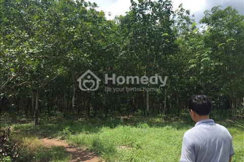 Cần tiền bán gấp vườn cao su đang thu hoạch tại huyện Lộc Ninh, Bình Phước