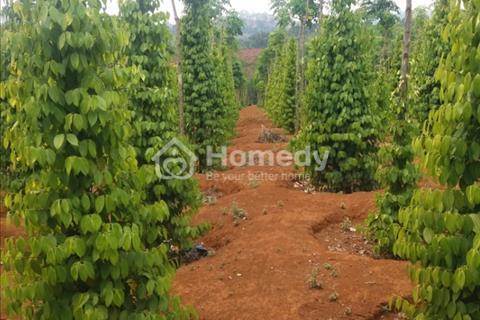 Bán đất rẫy diện tích 2,5ha, có sổ đỏ, trồng 1600 cây cà phê và 1000 trụ tiêu, có hồ tưới ống chôn