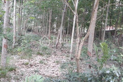 Gia đình bán gấp lô đất 200 cây cao su đang thu hoạch 1,826m2, bao lên thổ cư 300m2, An Phú