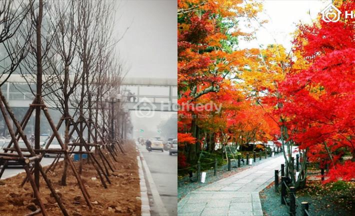 Cận cảnh hàng trăm cây phong lá đỏ được trồng giữa Thủ đô gây tranh cãi