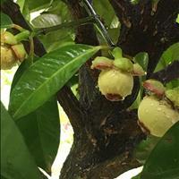 Bán vườn trái cây xã Trung An, huyên Củ Chi, 2854m2, 1,7 triệu/m2, 3 mặt tiền đường