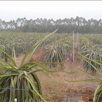 Ba tôi Sáu Bảnh bán 2000m2 đất vườn thanh long ngay quốc lộ N2, Bến Lức, Long An, chỉ 1,4 tỷ