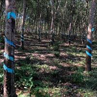 2ha đất cao su bằng đẹp ở Bù Đăng, giá 900 triệu/ha
