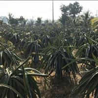 Bán đất nông nghiệp tại Bờ bao Vàm cỏ Tây, khu phố bình hoà, TT Tân trụ, Tân Trụ, Long An