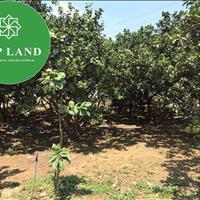 Bán vườn 27 gốc bưởi đang thu hoạch Tân Bình - Vĩnh Cửu