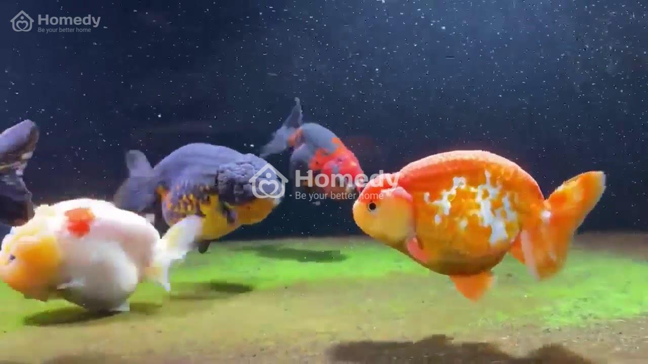 Bể nuôi cá vàng phong thủy