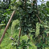 Đất vườn trái cây Long Khánh 8 sào trái cây đầy đủ