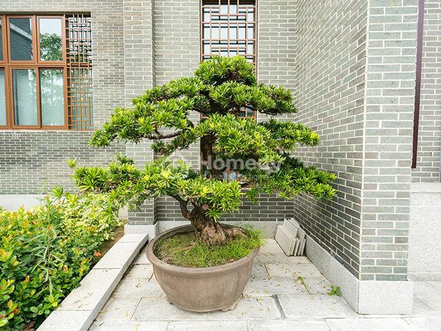 trồng cây trước cổng nhà tùng la hán