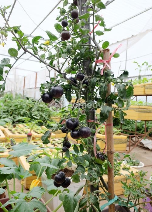 cà chua đen