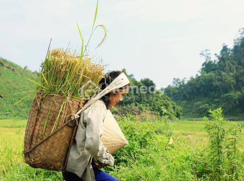 Tháng 6, du khách đến Mai Châu có thể đi bộgiữa những vạt lúa óng ánh vàng, ngồi trên chiếc xe chở đầy thóc len lỏivào thôn bản.bao lo toan mệt mỏi chợt tan biến, chỉ còn lại cảm giác yên bình, nhẹ nhàng