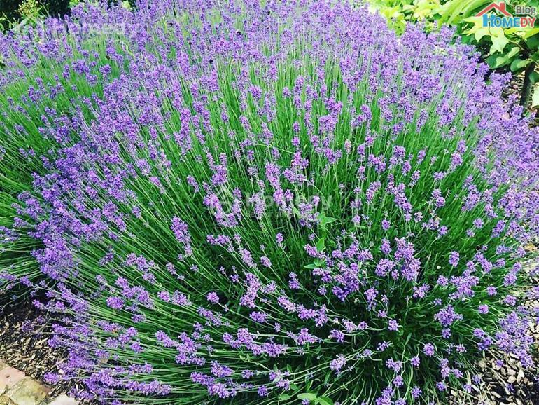 cum hoa oai huong