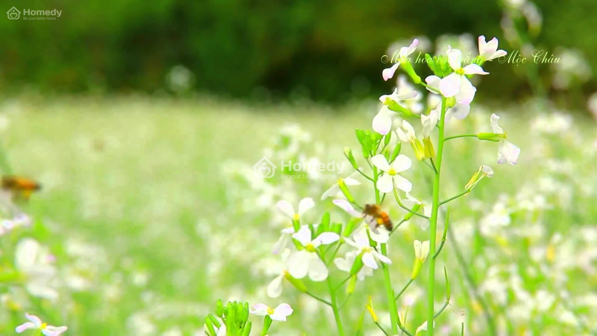 can canh hoa cai trang moc chau