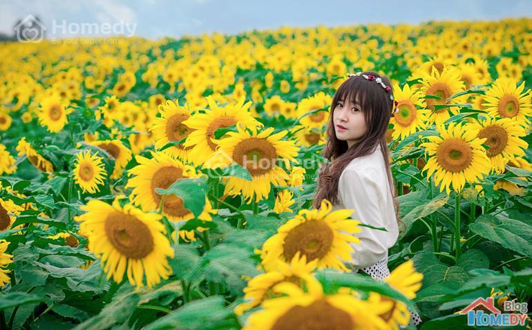 hoa hướng dương nghệ an 4