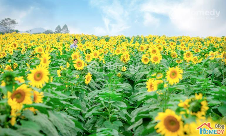 hoa hướng dương nghệ an 1