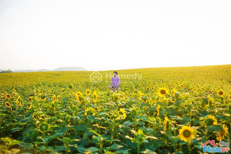 vườn hoa hướng dương 2