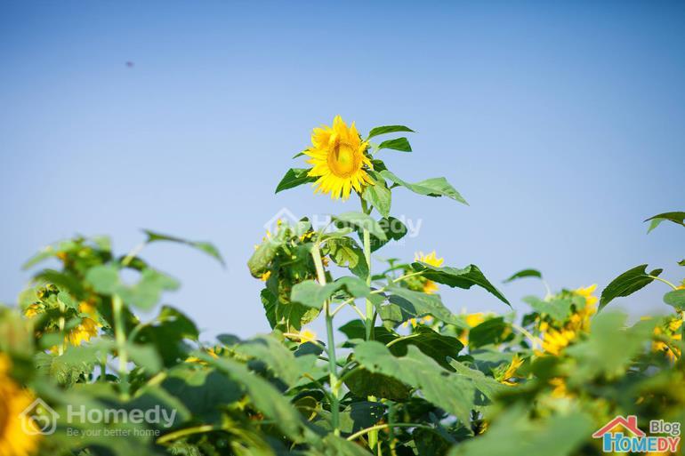 hoa hướng dương nghệ an 3