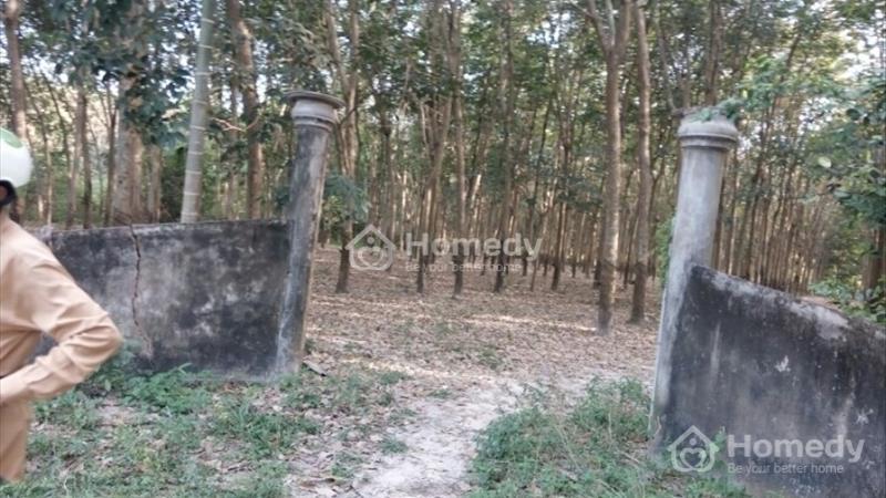 Bán đất trồng cao su xã Tân Mỹ, huyện Đức Hòa, tỉnh Long An - 1