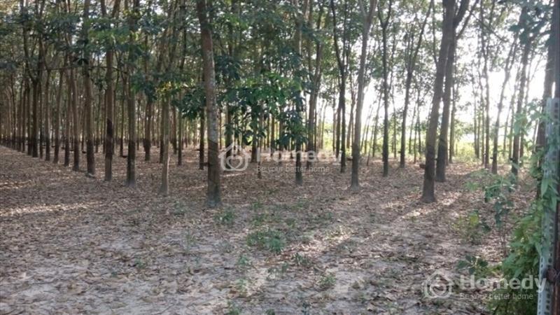 Bán đất trồng cao su xã Tân Mỹ, huyện Đức Hòa, tỉnh Long An - 2