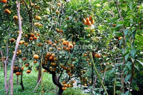 Không ai trông coi cần bán lại lô đất 28 ha cao su, cây ăn trái giá rẻ bèo, sổ đỏ riêng