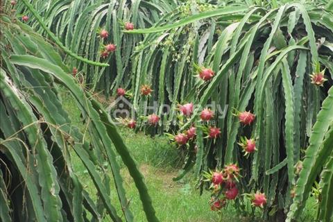 Bán rẫy 1.250 trụ Thanh Long 6 năm tuổi đang thu hoạch 1 tỷ