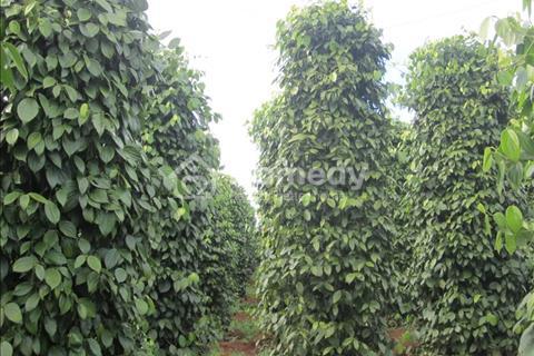 Bán rẫy cà phê và tiêu đang cho trái năm thứ 2. Đất chính chủ đang làm sổ đỏ