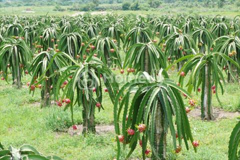 Chính chủ cần bán gấp đất ở và đất vườn tại Phước Tân Hưng, Châu Thành, Long An - gần tỉnh lộ 827