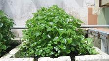 Nông dân thành phố học cách trồng đặc sản rau càng cua