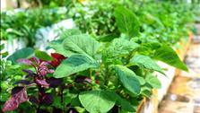Nông dân thành phố học cách trồng rau đay rau dền mọc nhanh xanh mướt